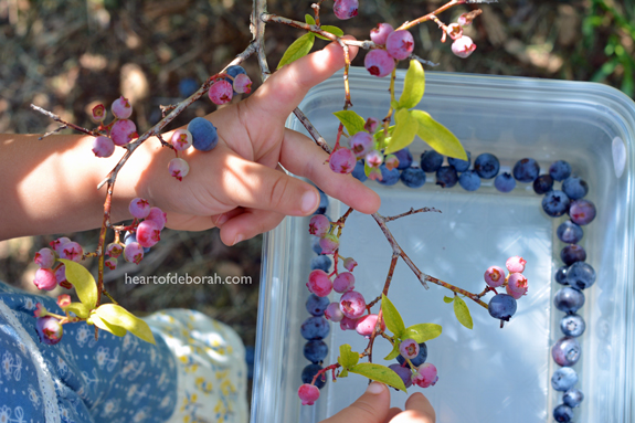 Blueberry picking with kids.